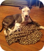 Pit Bull Terrier/Terrier (Unknown Type, Medium) Mix Dog for adoption in Allentown, Pennsylvania - Miss Juniper Breeze