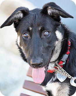 German Shepherd Dog Mix Puppy for adoption in Los Angeles, California - Lola von Leon