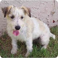 Adopt A Pet :: CHARGER - Phoenix, AZ