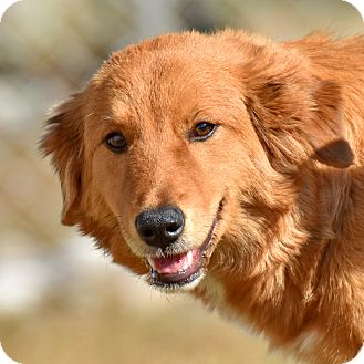 Golden Retriever Mix Puppy for adoption in New Canaan, Connecticut - Nyla