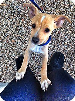 Chihuahua/Italian Greyhound Mix Puppy for adoption in Phoenix, Arizona - Flash