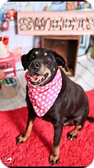 Rottweiler/Labrador Retriever Mix Dog for adoption in Overland Park, Kansas - Purdy