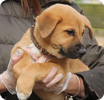 Akita/Shepherd (Unknown Type) Mix Puppy for adoption in Minnetonka, Minnesota - JASPER - fluffy & big
