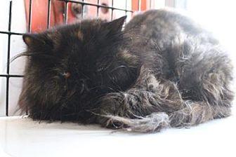 Persian Cat for adoption in Tucson, Arizona - Pearl