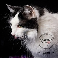 Domestic Longhair Cat for adoption in St. Charles, Illinois - Dillia