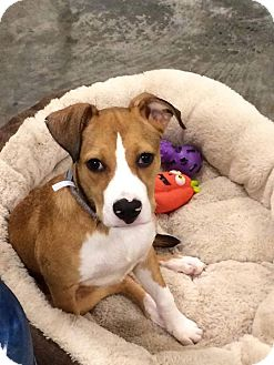 Pit Bull Terrier Mix Puppy for adoption in Pottstown, Pennsylvania - Cherry