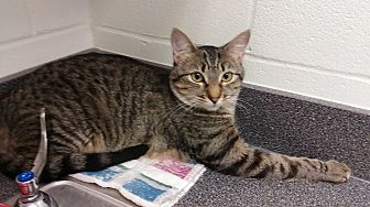 Domestic Shorthair Cat for adoption in Barnwell, South Carolina - Abigail