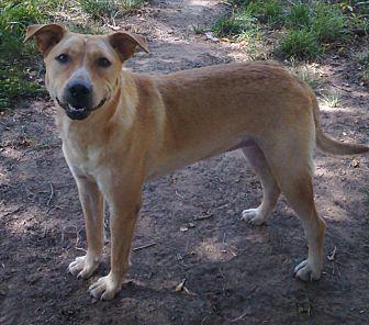 Labrador Retriever/Shepherd (Unknown Type) Mix Dog for adoption in Shawnee, Oklahoma - Sooner