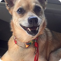 Adopt A Pet :: Foxy - Salem, OR