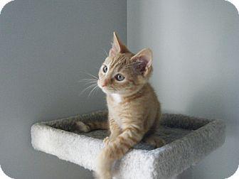 Domestic Shorthair Kitten for adoption in Smithfield, North Carolina - Tamale