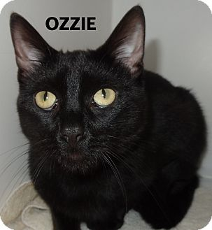 Domestic Shorthair Cat for adoption in Lapeer, Michigan - Ozzie