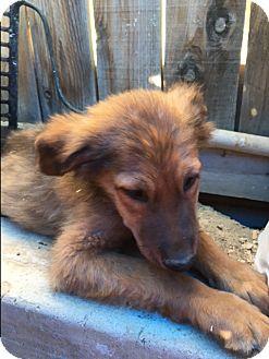 Collie/Shepherd (Unknown Type) Mix Puppy for adoption in Thousand Oaks, California - Reno