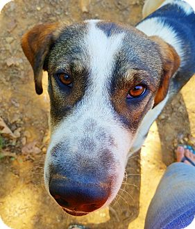 Labrador Retriever/Hound (Unknown Type) Mix Dog for adoption in Kingston, Tennessee - Todd