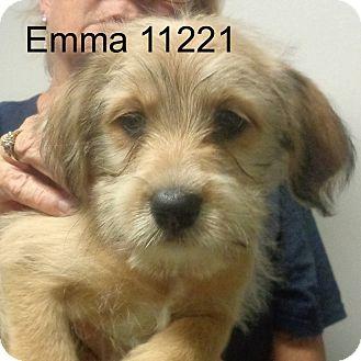 Cockapoo/Dachshund Mix Puppy for adoption in Greencastle, North Carolina - Emma
