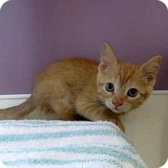 Domestic Shorthair Kitten for adoption in Janesville, Wisconsin - Buttercup
