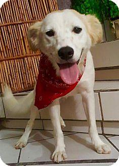 Australian Shepherd/Spaniel (Unknown Type) Mix Puppy for adoption in Irvine, California - PABLO
