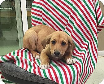 Collie/Labrador Retriever Mix Puppy for adoption in Windham, New Hampshire - Pebbles