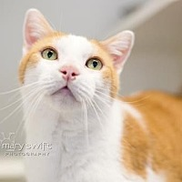 Domestic Shorthair/Domestic Shorthair Mix Cat for adoption in Reisterstown, Maryland - Oliver