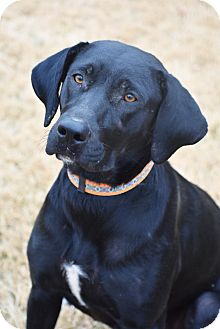 Labrador Retriever Mix Dog for adoption in Nashville, Tennessee - Antonia