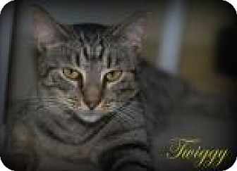 Domestic Shorthair Kitten for adoption in Middleburg, Florida - Twiggy
