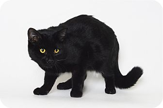 Domestic Shorthair Cat for adoption in Fruit Heights, Utah - Ace