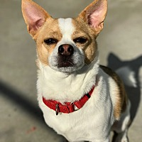 Chihuahua Mix Dog for adoption in Hanna City, Illinois - Princeton