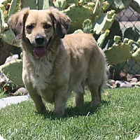 Adopt A Pet :: Squire - Henderson, NV