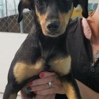 Adopt A Pet :: Roxy - Tulsa, OK