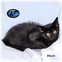 Adopt A Pet :: Huck - Howell, MI