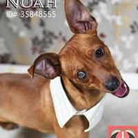 Adopt A Pet :: Noah - Gulfport, MS
