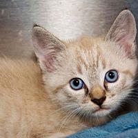 Adopt A Pet :: Bonbon - Hot Springs, AR