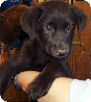 Labrador Retriever/Shepherd (Unknown Type) Mix Puppy for adoption in Overland Park, Kansas - Dave