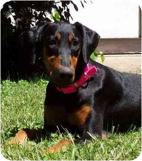 Doberman Pinscher Dog for adoption in New Richmond, Ohio - Nyah--adopted!