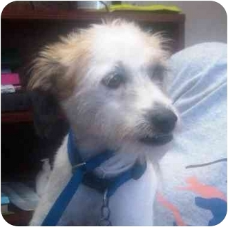 Jack Russell Terrier Mix Puppy for adoption in Houston, Texas - Reve in Houston