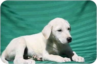 Great Pyrenees/Husky Mix Puppy for adoption in West Milford, New Jersey - JACK