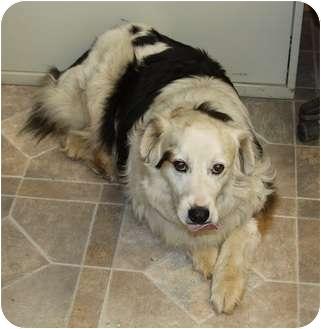 Great Pyrenees/Border Collie Mix Dog for adoption in Haughton, Louisiana - Big Man