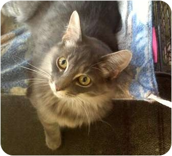 Domestic Mediumhair Cat for adoption in Columbiaville, Michigan - Cassidy