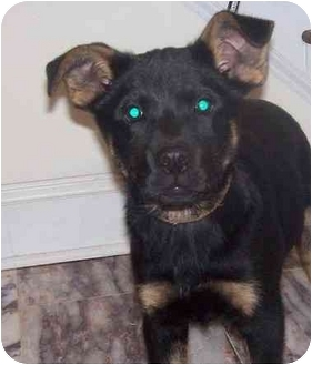 German Shepherd Dog/Labrador Retriever Mix Puppy for adoption in Chapel Hill, North Carolina - Clue