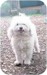 Poodle (Miniature) Dog for adoption in Raritan, New Jersey - Timmy