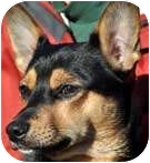 Jack Russell Terrier Mix Dog for adoption in Rhinebeck, New York - Skippy