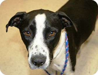 Border Collie/Pointer Mix Dog for adoption in Westminster, Colorado - Dolly