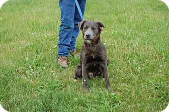 Labrador Retriever/Pit Bull Terrier Mix Dog for adoption in North Judson, Indiana - Smoke