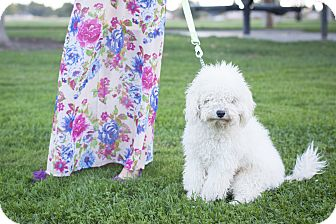 Poodle (Toy or Tea Cup) Mix Dog for adoption in Auburn, California - Jimmy