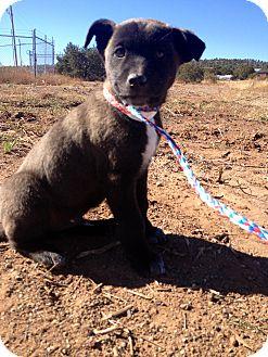 Labrador Retriever Mix Puppy for adoption in Westminster, Colorado - Max