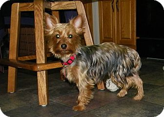 Yorkie, Yorkshire Terrier Dog for adoption in Mount Gretna, Pennsylvania - Bonnie