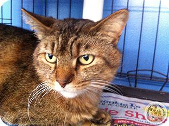 Domestic Shorthair Cat for adoption in Eighty Four, Pennsylvania - Gilbert