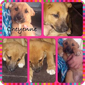Labrador Retriever/Australian Shepherd Mix Puppy for adoption in Fort Lauderdale, Florida - Cheyenne