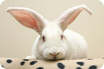 New Zealand Mix for adoption in Bellingham, Washington - Mopsy