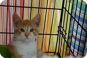 Domestic Shorthair Kitten for adoption in Elyria, Ohio - Kit