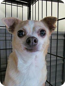 Chihuahua Dog for adoption in Newburgh, Indiana - Polly cream white